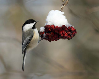 Black-capped Chickadee 2